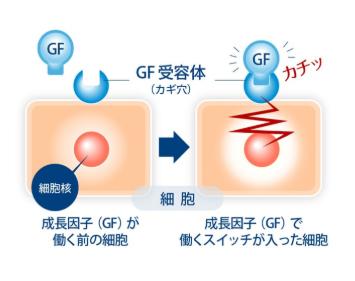ヒト型幹細胞コスメ